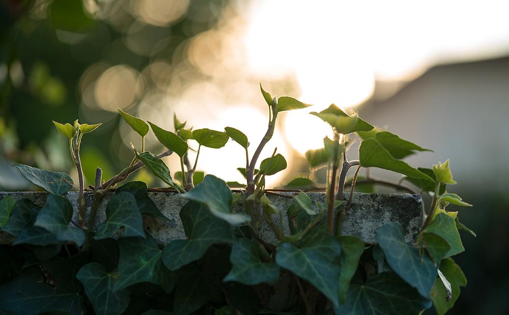 Växter - klängväxter